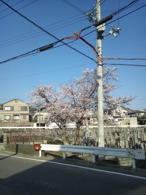 桜ですわ〜ρ( ^o^)b_♪♪